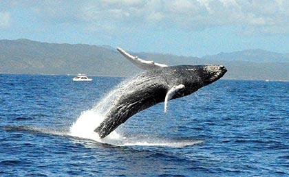 Conozca fecha y horario para observación de ballenas, pero con protocolo sanitario