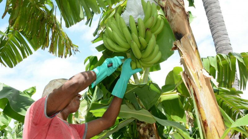 El Gobierno comprará a los productores de plátanos diez millones de unidades