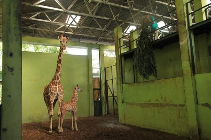 Corona, una bebé jirafa nacida en Bali durante la pandemia