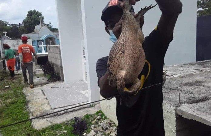 Sorprendidos residentes de La Romana por aparición de rana gigante en cementerio